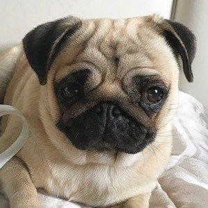 Moka The Adorable Pug