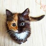 Yana Two Face Cat